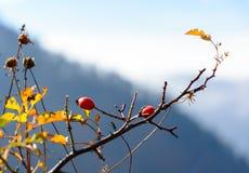 Fruta color de rosa salvaje en la montaña de Sokolica en Pieniny, Polonia Fotos de archivo libres de regalías