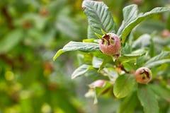 Fruta común del níspero Imagenes de archivo