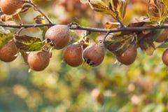 Fruta común del níspero Imágenes de archivo libres de regalías