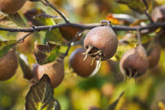 Fruta común del níspero Imagen de archivo libre de regalías