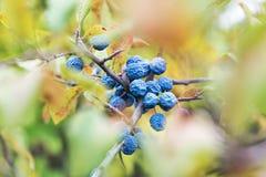 Fruta congelada de un endrino Foto de archivo