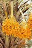 Fruta cruda de la palma de betel Imagenes de archivo