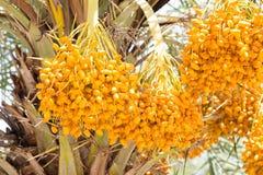 Fruta cruda de la palma de betel Imagen de archivo