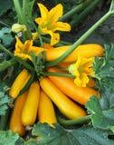 Fruta da abóbora na cama do jardim da planta Fotos de Stock