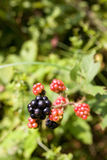 Fruta da amora Imagem de Stock