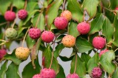 Fruta da menina da porcelana do cousa de Kornus Fotografia de Stock Royalty Free
