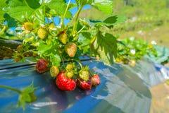 Fruta da morango Imagens de Stock
