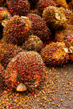 Fruta da palma de petróleo Imagem de Stock Royalty Free
