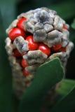 Fruta da palma do cartão Imagem de Stock Royalty Free