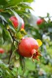 Fruta da romã imagens de stock