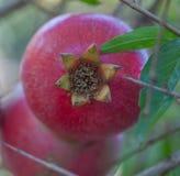 Fruta da romã Fotografia de Stock Royalty Free
