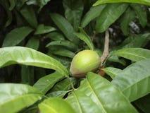 Fruta de árbol fotos de archivo libres de regalías
