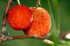 Fruta de árbol de fresa Imagen de archivo libre de regalías