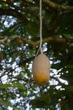 Fruta de árbol de la salchicha Imágenes de archivo libres de regalías