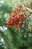 Fruta de árvore vermelha da tâmara Fotografia de Stock Royalty Free