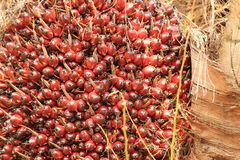 Fruta de aceite de palma Imagenes de archivo