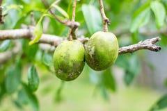 Fruta de Ambarella Fotos de archivo