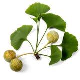 Fruta de Biloba del Ginkgo Fotos de archivo libres de regalías