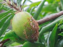 Fruta de Canistel Foto de archivo