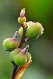 Fruta de Canna Imágenes de archivo libres de regalías