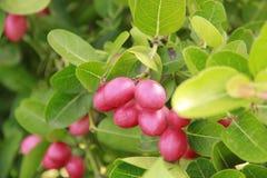 Fruta de Carandas en una rama de árbol Fotos de archivo libres de regalías