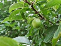 Fruta de Cherry Plum Imagenes de archivo