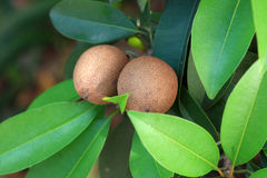 Fruta de Chikoo imagen de archivo