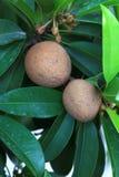 Fruta de Chikoo fotografía de archivo