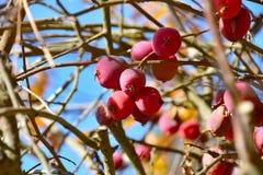 Fruta de Crabapple en el árbol Imagenes de archivo