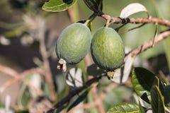 Fruta de Feijoa en árbol fotos de archivo libres de regalías