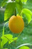 Fruta de Gac, Jackfruit del bebé Fotografía de archivo