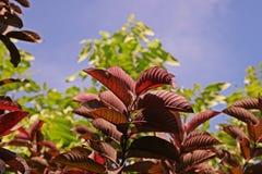 Fruta de guayaba Imagen de archivo libre de regalías
