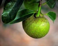 Fruta de guayaba Foto de archivo libre de regalías