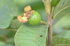 Fruta de guayaba del bebé en árbol con las hojas verdes Fotografía de archivo libre de regalías