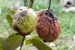 Fruta de guayaba en el árbol Imágenes de archivo libres de regalías