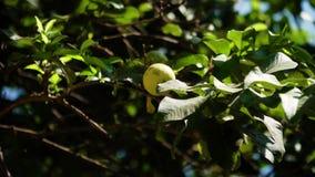 Fruta de guayaba en la rama almacen de metraje de vídeo