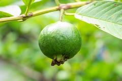 Fruta de guayaba joven Fotos de archivo libres de regalías