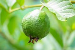 Fruta de guayaba joven Imagen de archivo