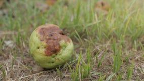 Fruta de guayaba putrefacta en la tierra, daño del jardín almacen de metraje de vídeo