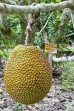 Fruta de Jack Imagem de Stock