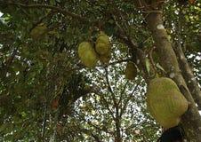 Fruta de Jack Imagens de Stock