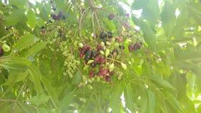 Fruta de Jambul Fotos de archivo libres de regalías