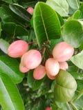 Fruta de Karonda Imagenes de archivo