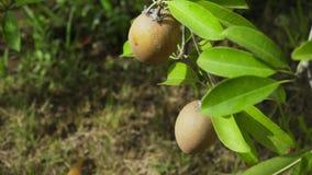 Fruta de kiwi en el árbol almacen de metraje de vídeo