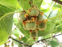 Fruta de kiwi roja Fotos de archivo