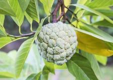 Fruta de la anona en árbol Fotografía de archivo