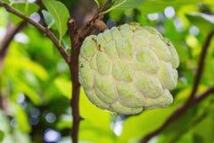 fruta de la Azúcar-piña Fotos de archivo libres de regalías