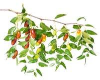 Fruta de la azufaifa Imagen de archivo libre de regalías