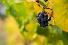Fruta de la caída en el viñedo Imágenes de archivo libres de regalías