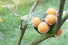 Fruta de la caballa en árbol fotos de archivo libres de regalías